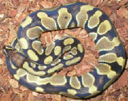 Ball Python olive color.jpg