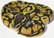 Lemon Pastel Ball Python Living Art Reptiles