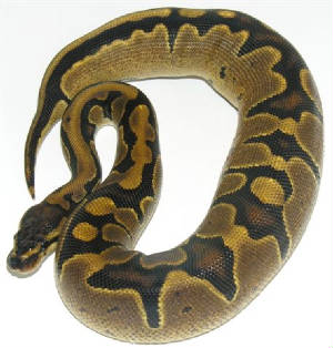 Reduced Pattern Ball Python L.A.R. .