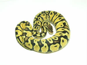 Pastel Ball Pythons Living Art Reptiles.