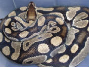 SP Ball Python Tan.jpg
