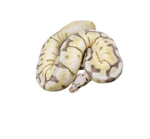 killer bee ball python living art reptiles