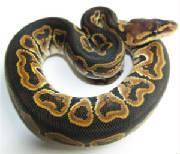 Cinnamon Ball Python Living Art Reptiles (LAR)