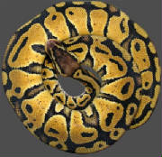 Living Art Reptiles Pastel Ball Python H for Ghost