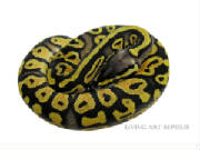 Majestic Pastel Ball Python Living Art Reptiles