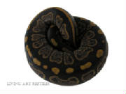 Majestic Yellow Belly Ball Python Living Art Repti