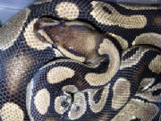 This Ball Python Is light tan great blushing.jpg