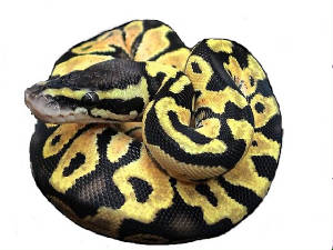 Lemon Pastels Ball Pythons Living Art Reptiles