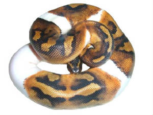 Piedbald Ball Python Living Art Reptiles