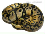 Sienna Pastel Ball Pythons Living Art Reptiles