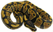 Sienna Yellow Belly Ball Python Living Art Reptile