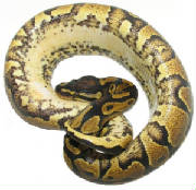 Yellow Belly Ball Pythons Living Art Reptiles