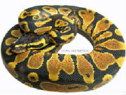 yellowbellyballpythonslivingartreptiles8x61800x600watermark1copy.jpg
