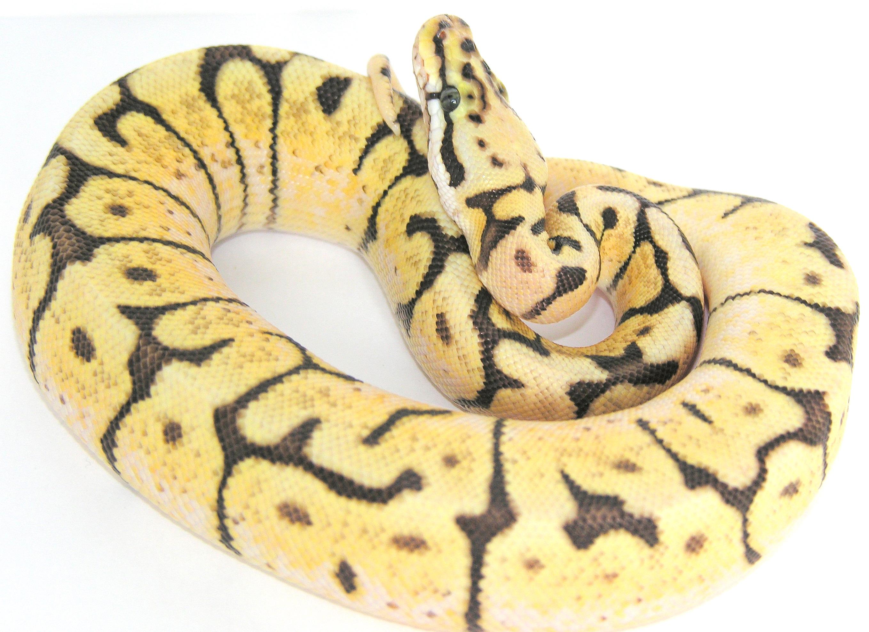 Bumble Bee Ball Pythons Living Art Reptiles